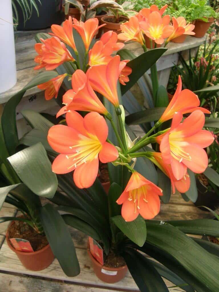 Clivia en fleur