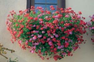 http://www.meillandrichardier.com/geranium-lierre-roi-des-balcons-rose.html