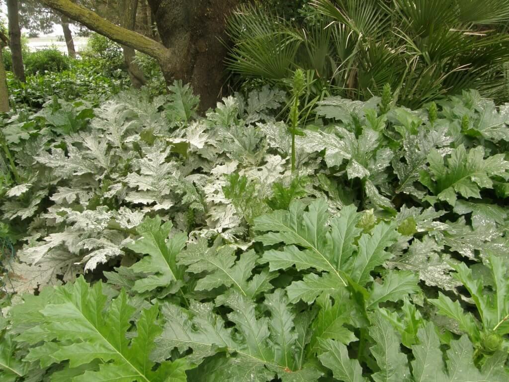 oïdium sur feuilles d'acanthe