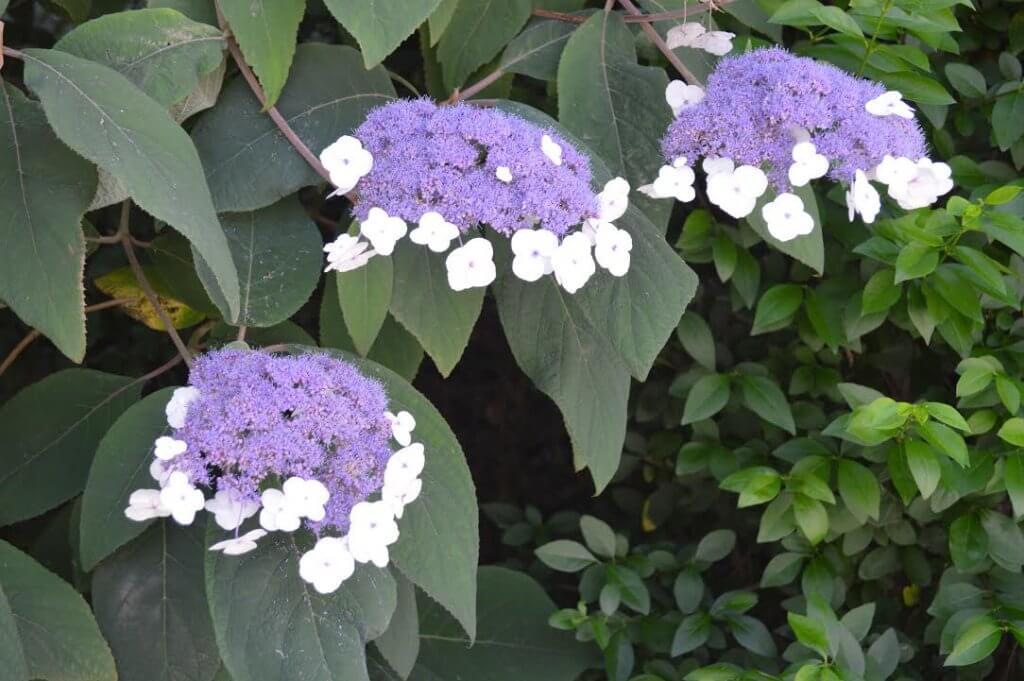 Terre acide les fleurs et le cornouiller des pagodes ncessitent un sol humifre frais mais bien - Quelle terre pour hortensia ...
