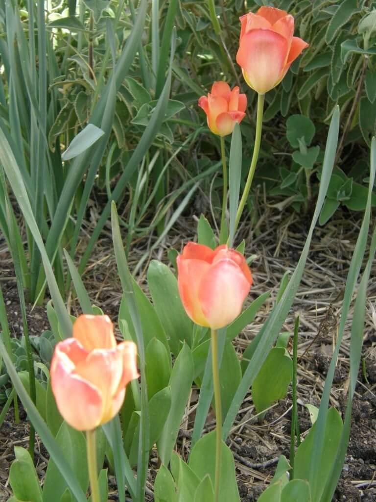 Plantez les tulipes