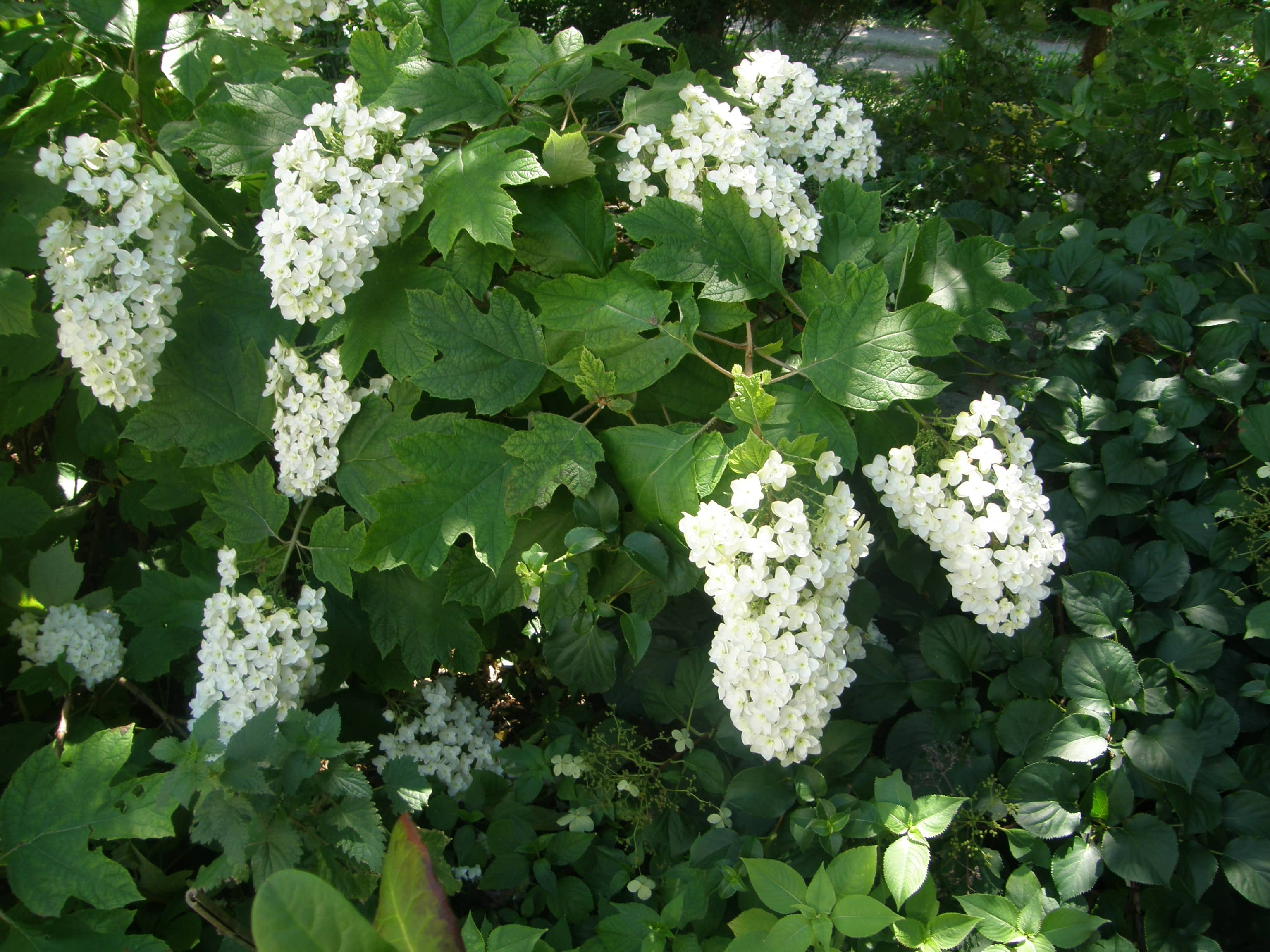 Hortensia pas si acide que a humeur de jardinier - Quand tailler un hortensia ...