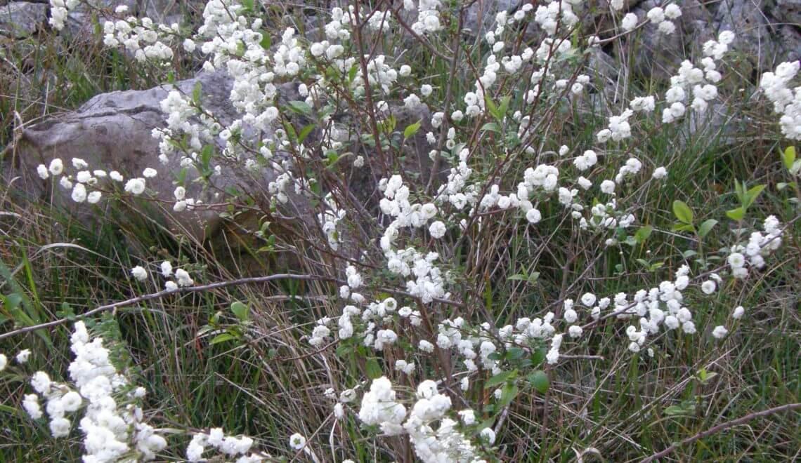 Taille des spirées, lilas et buddleia