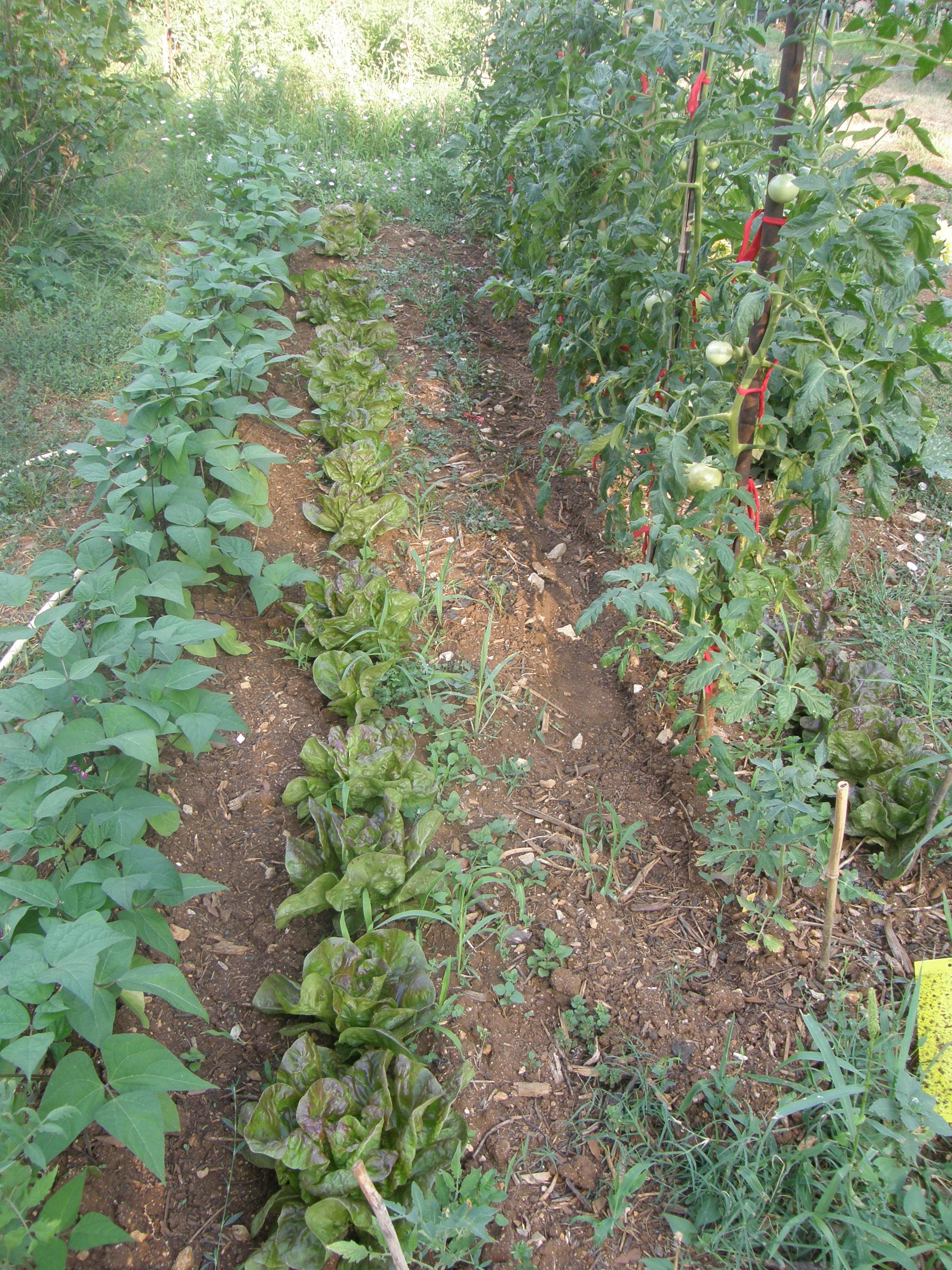 Haricot vert nain fiche de culture humeur de jardinier - Planter des haricots nains ...