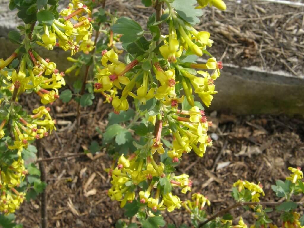ribes odoratum, magnifique arbuste odorant et fruits comestibles