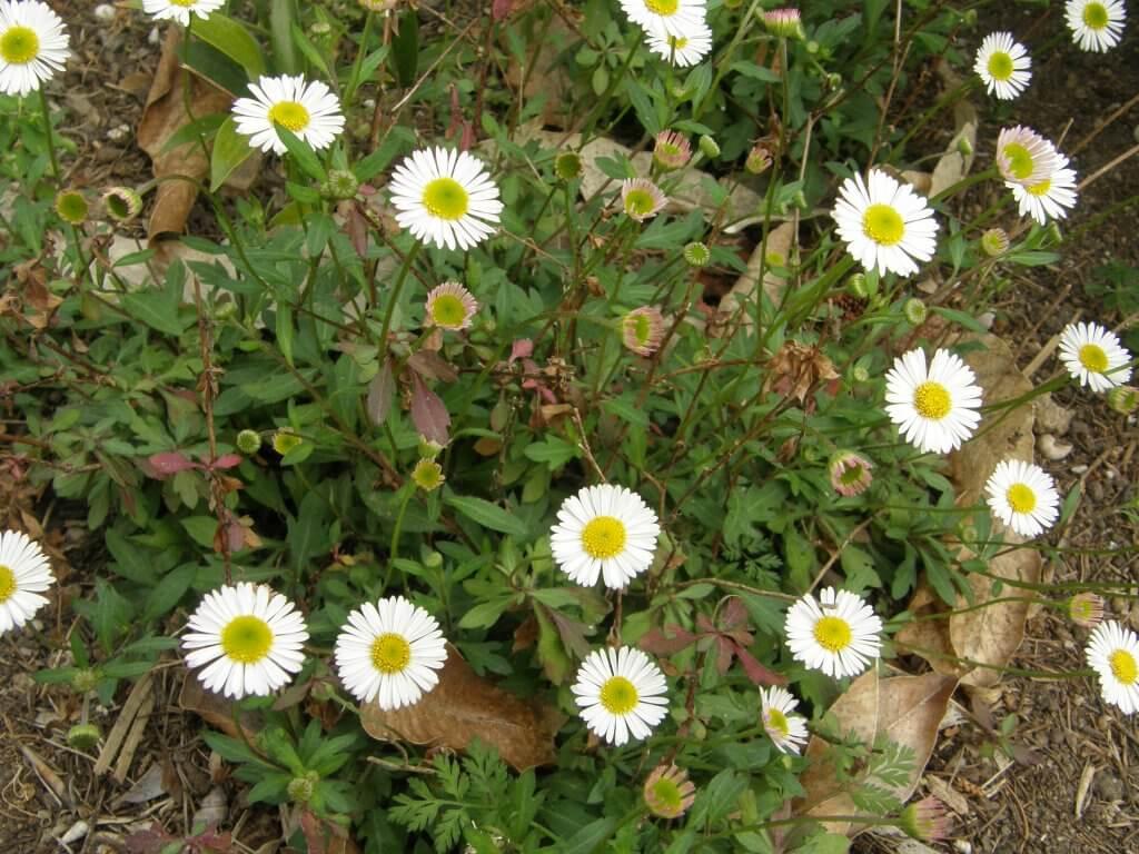 "Erigeron karvinskianus, petite ""marguerite"" blanche toujours en fleur"