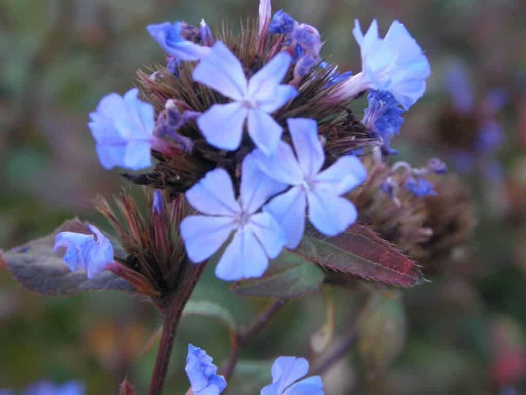 Ceratostigma willmotianum. Arbuste aux couleurs d'automne, fleurs bleu pâle sur fond de feuillage d'un vert rougissant avec le froid.
