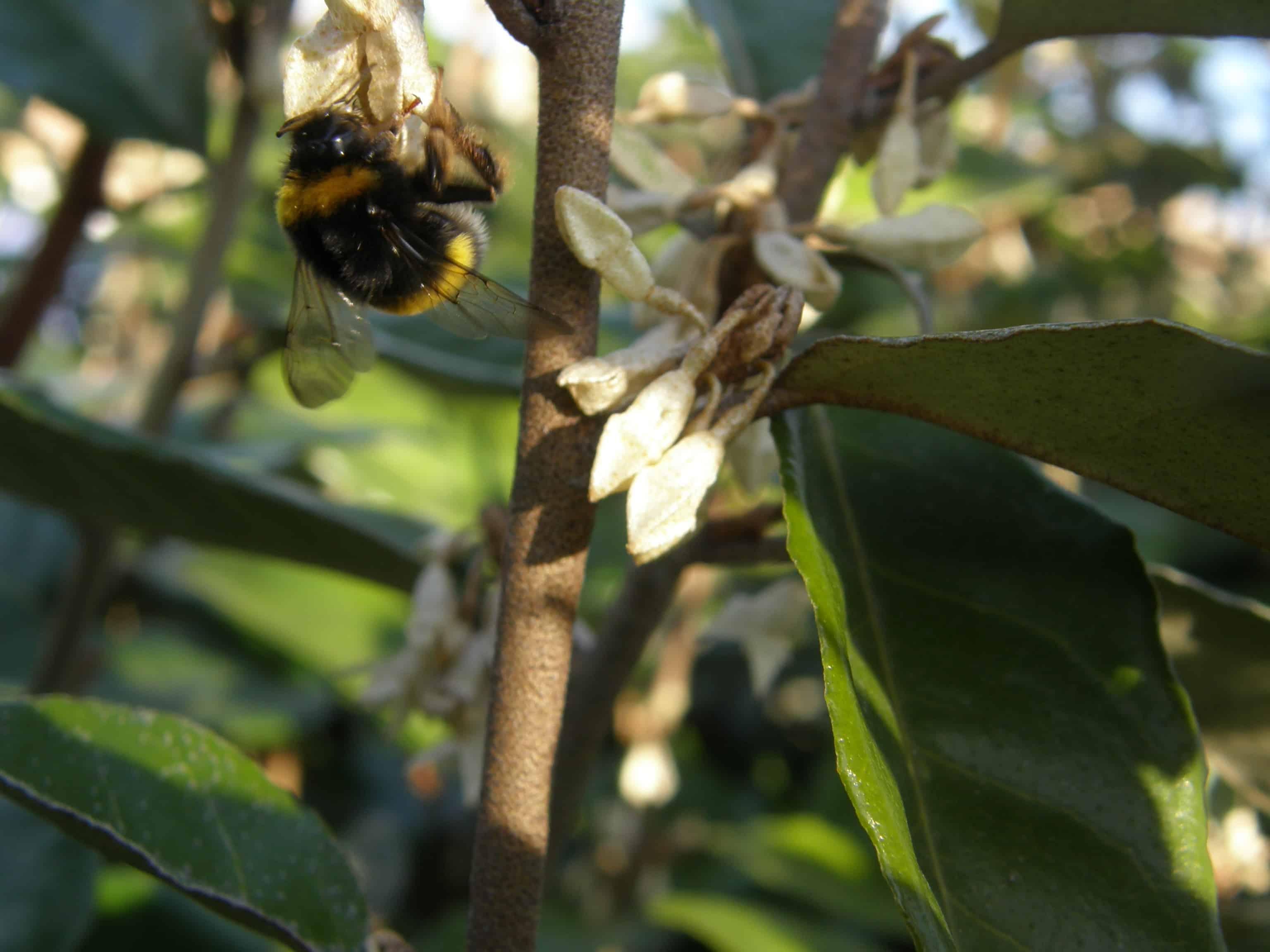 Elaeagnus en fleur