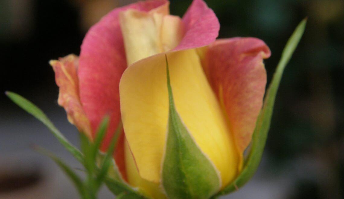 Taille du rosier humeur de jardinier for Conseil de jardinier