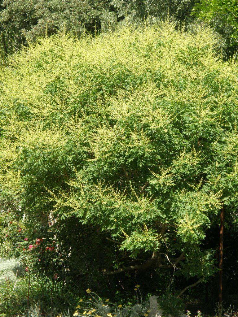 faux savonnier en fleur (Koelreuteria japonica)