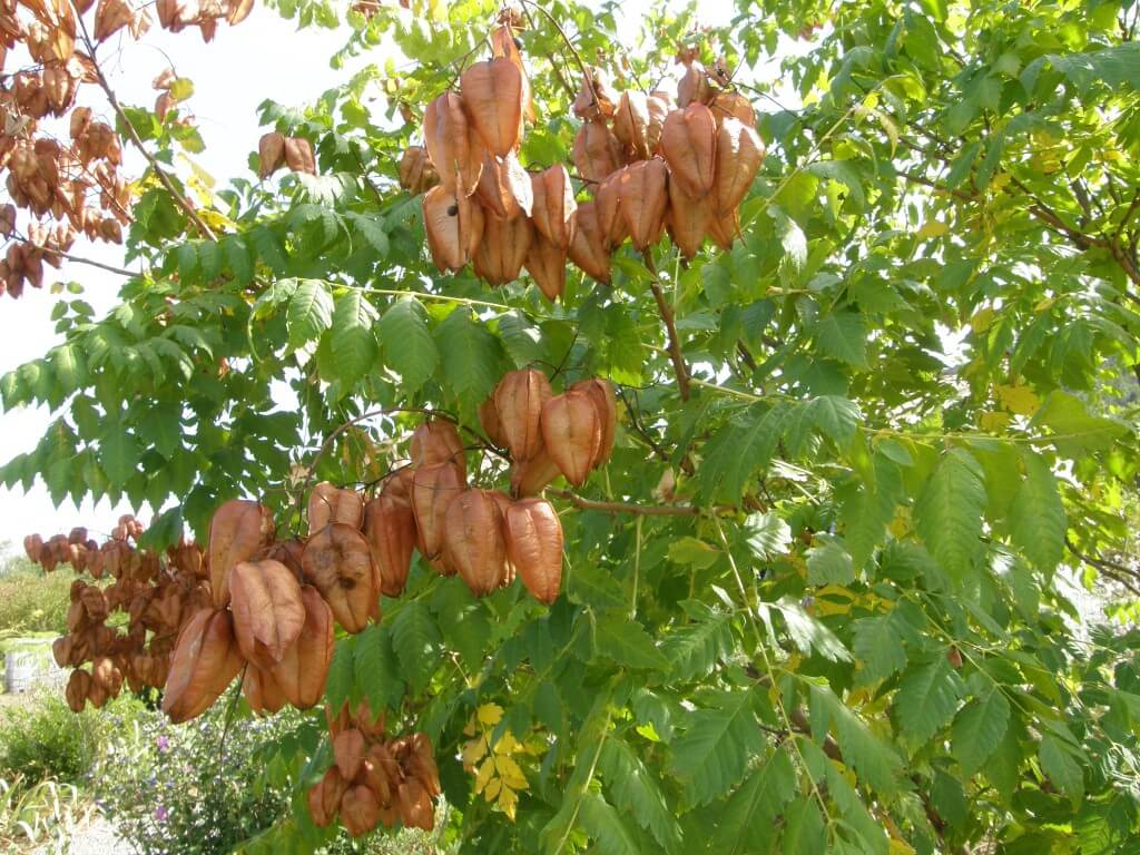 Fruit de faux savonnier (Koelreuteria japonica)