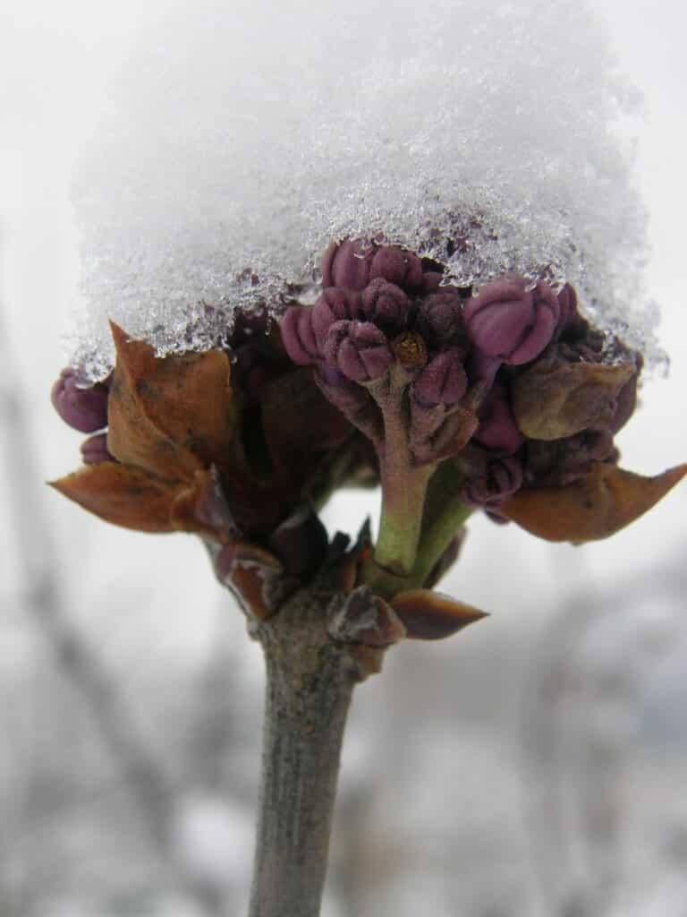 lilas en fleur...en hiver