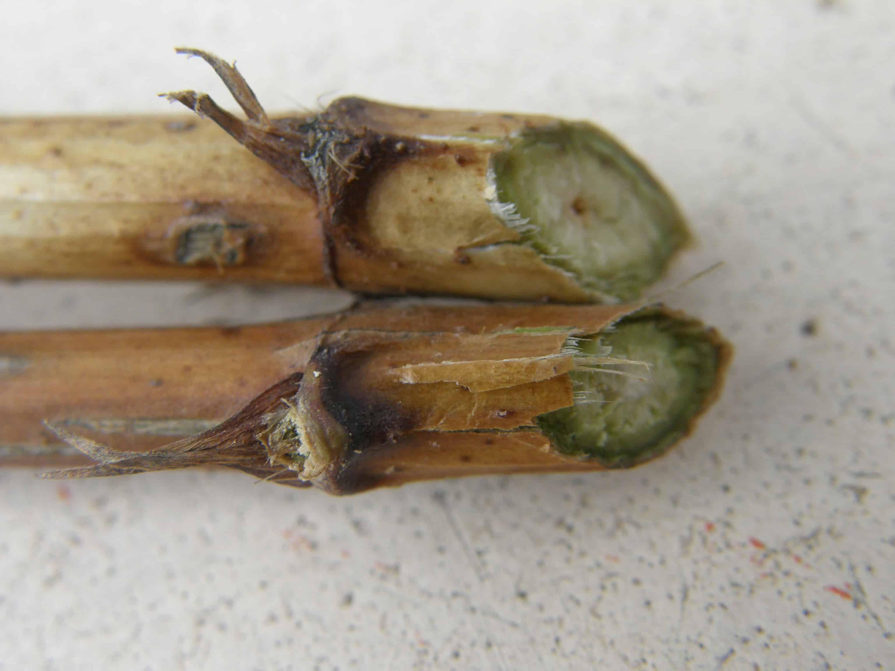 Boutures de bois sec coupées sous un noeud
