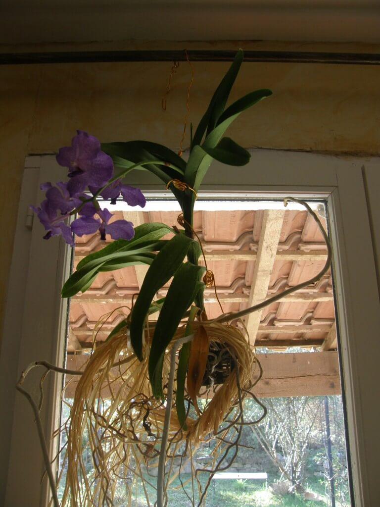 Orchidée Vanda, la plante épiphyte