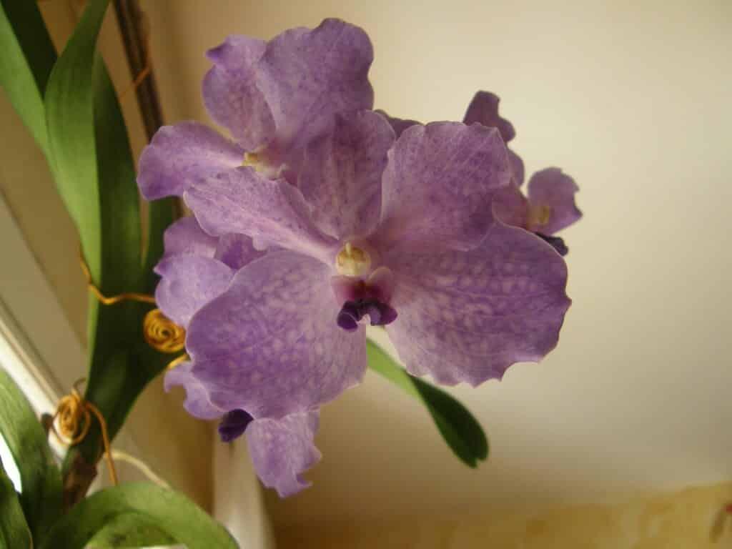 un bleu étonnant pour cette orchidée Vanda