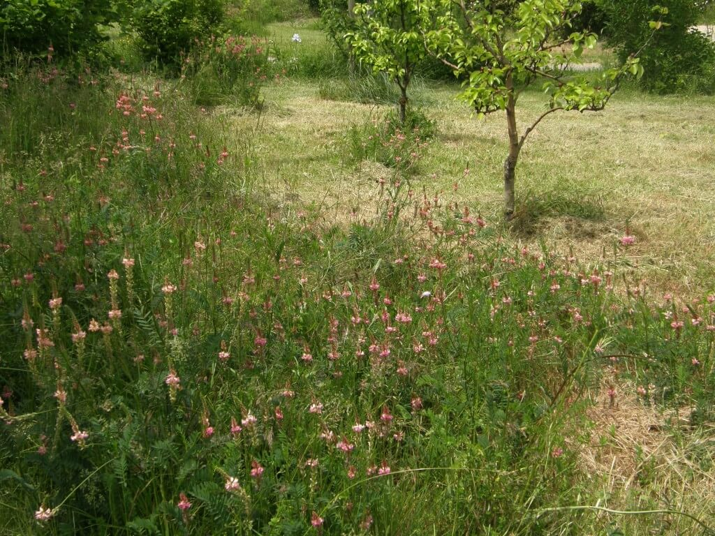 Le sainfoin est mellifère et apporte de l'azote au sol