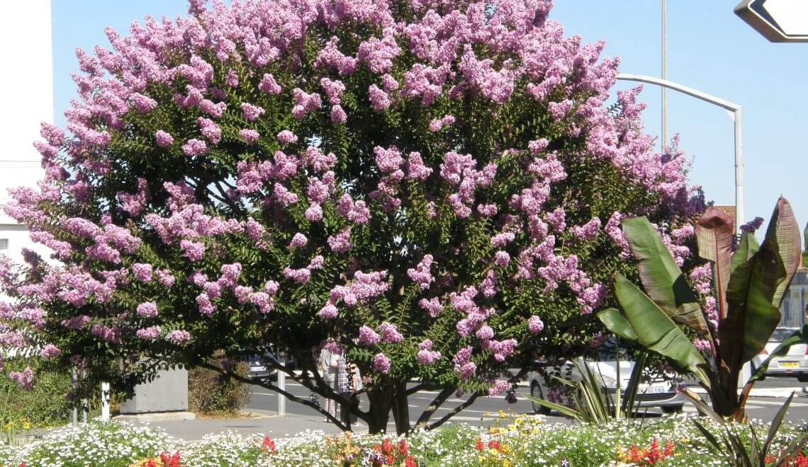 Lagerstroemia indica, lilas des Indes