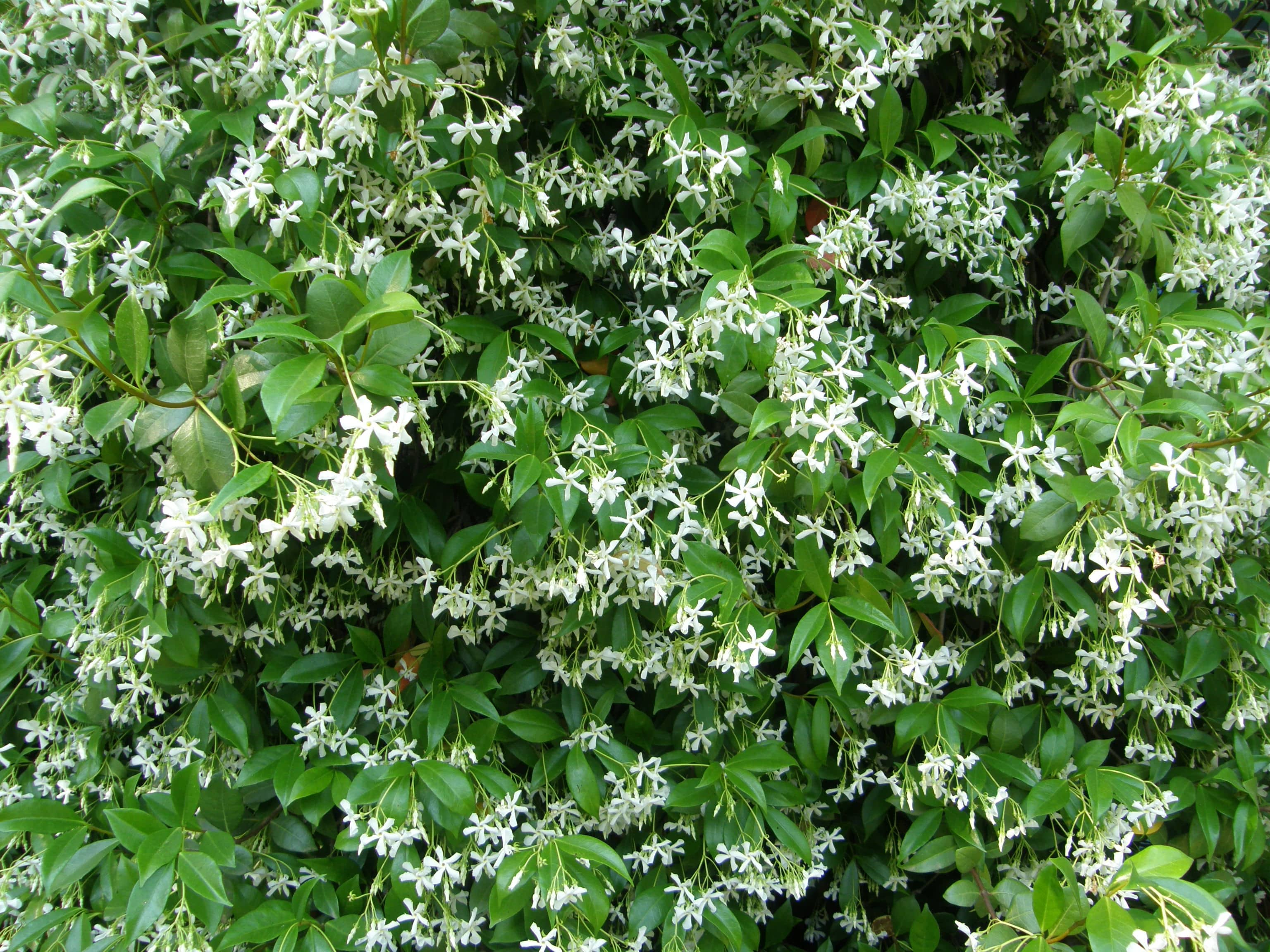 Jasmin blanc jasmin d 39 t humeur de jardinier - Jasmin d hiver blanc ...