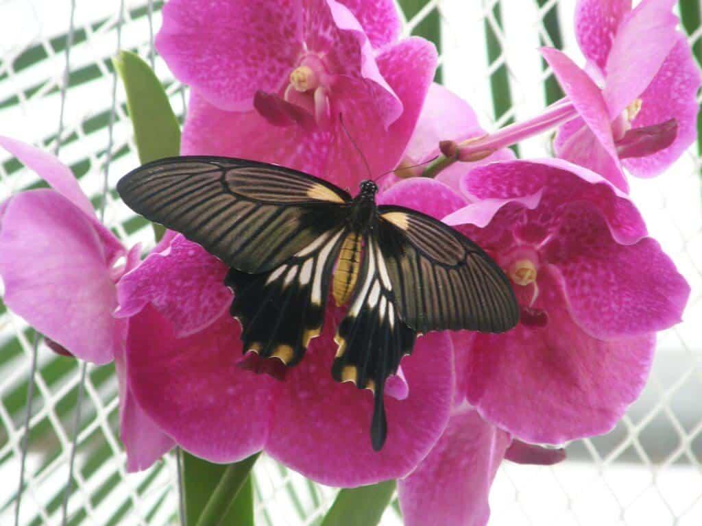 papillon sur orchidée
