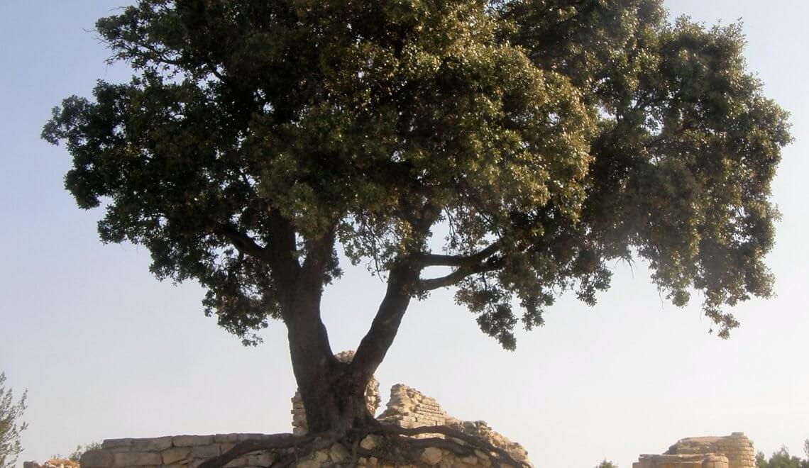 chêne vert. trouvez le bon emplacement pur l'arbre ou le bon arbre pour un emplacement défini...