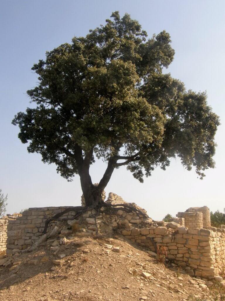 Chêne vert. Choisir un arbre c'est : trouver le bon emplacement pour l'arbre ou le bon arbre pour un emplacement défini...