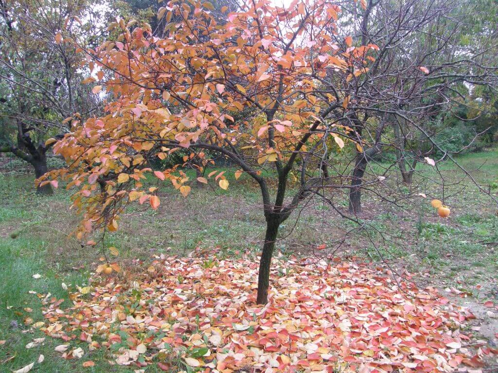 Kaki, plaqueminier en automne