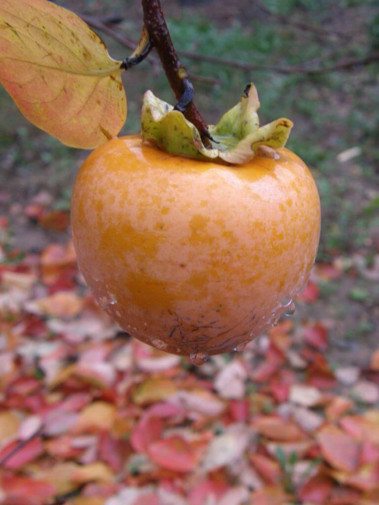 kaki, fruit du plaqueminier