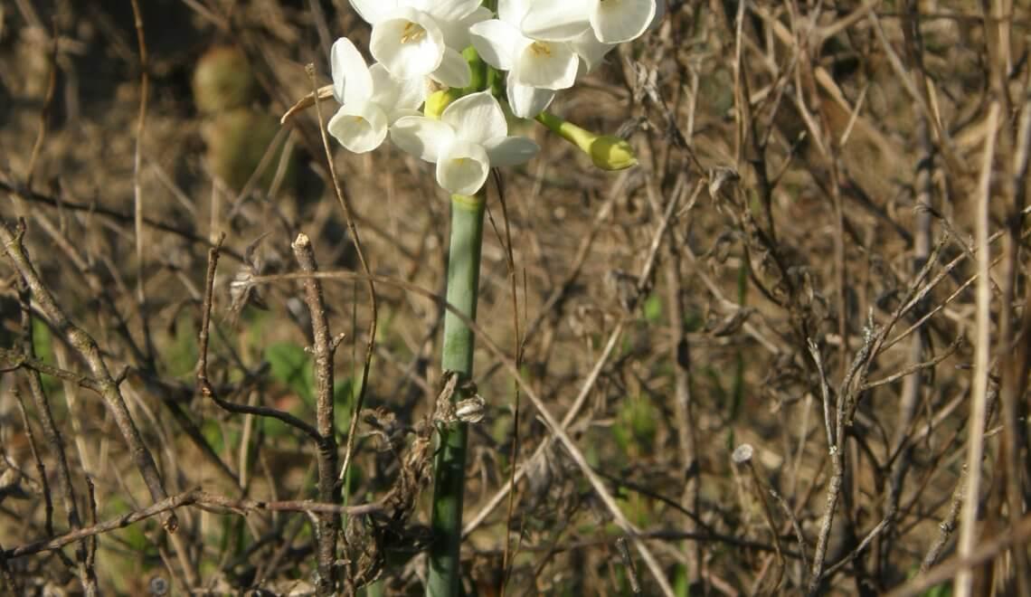 Fleurs sauvages de la garrigue