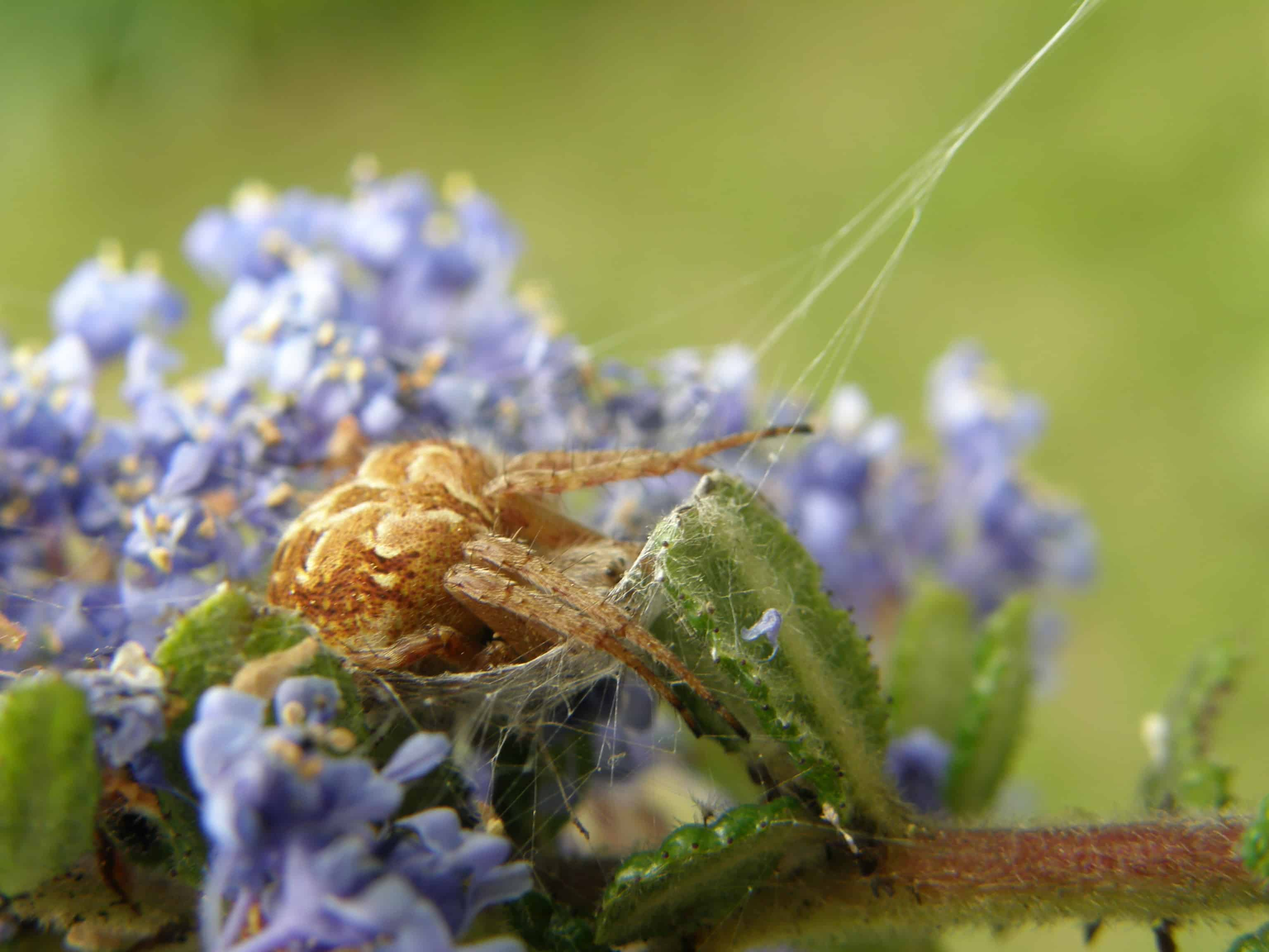 Araignée dans fleurs de Céanothe