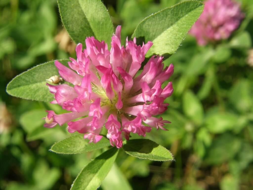 Trèfle rouge des près, Trifolium pratens