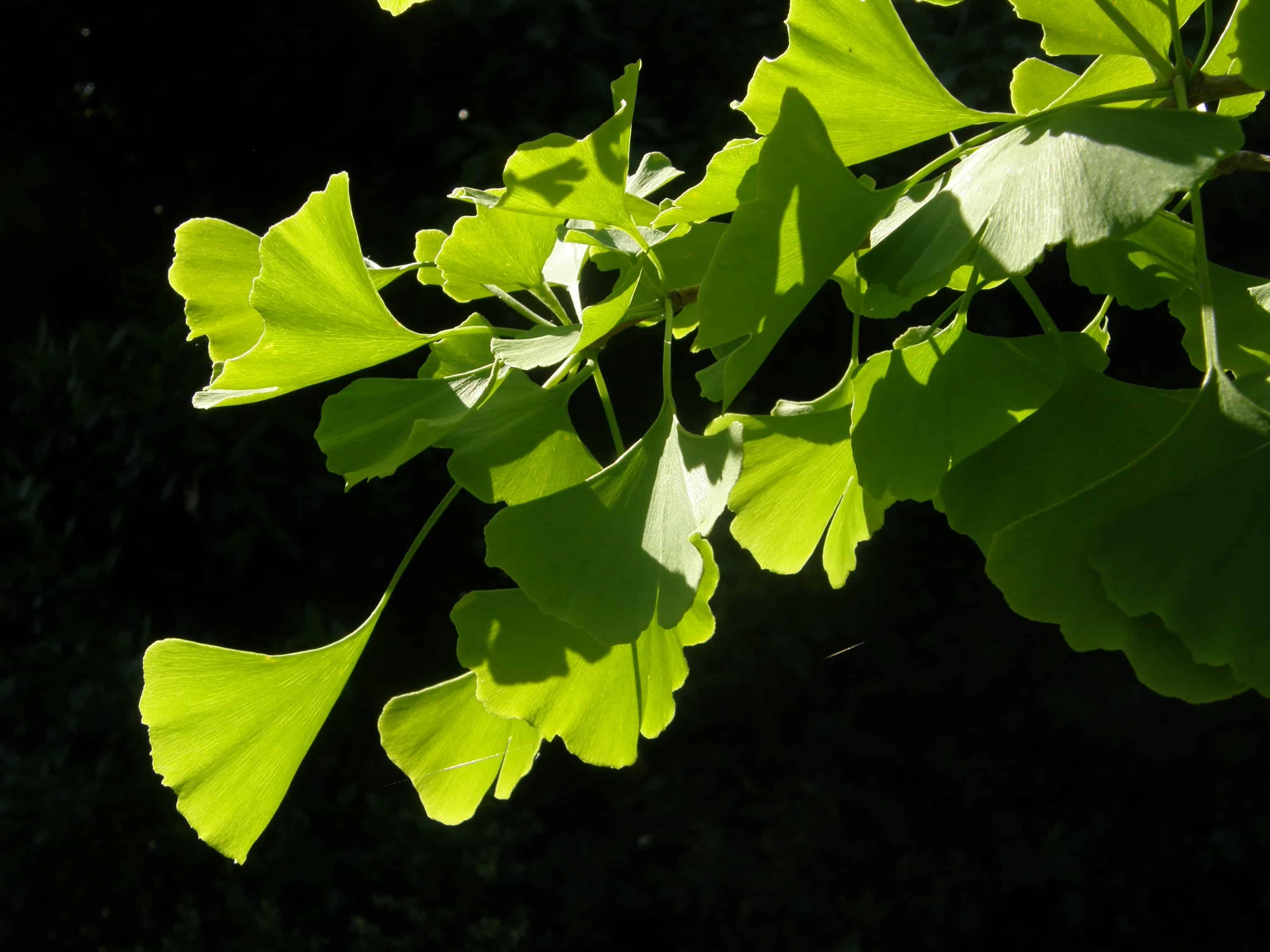 Rétro éclairée, cette branche de Ginkgo montre son mystère