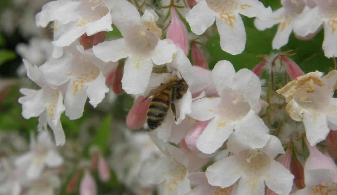 Visite d'une abeille dans Kolkwitzia amabilis