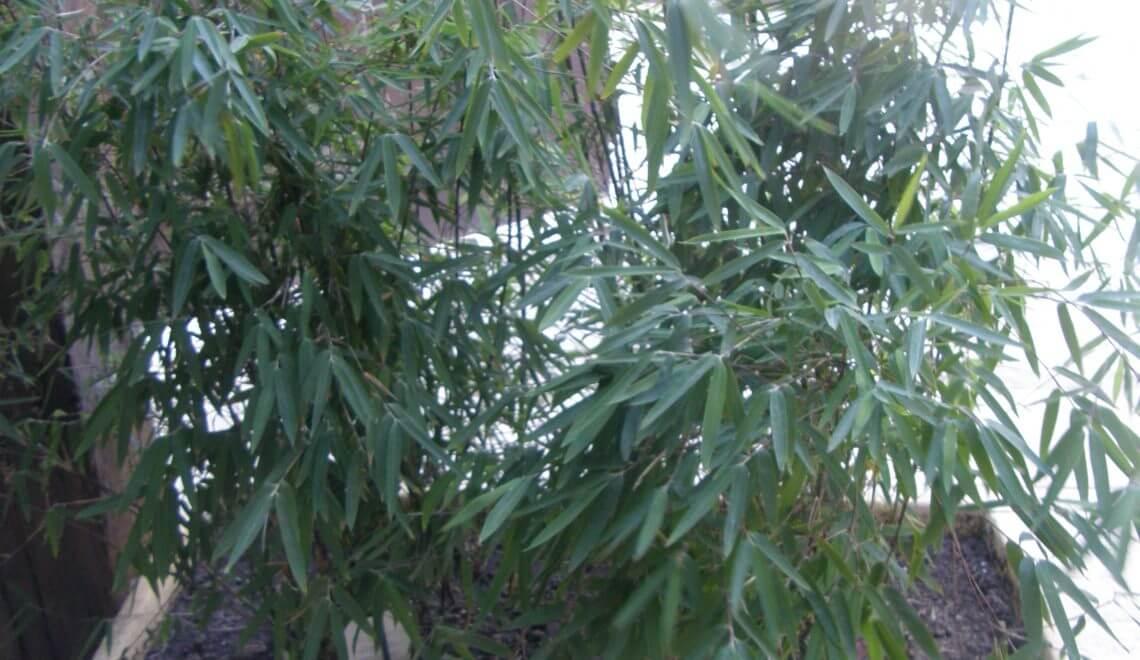Bambou cespiteux? oui mais quoi ?