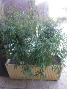 Bambou cespiteux
