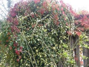 plantes grimpantes sur clôture en bois