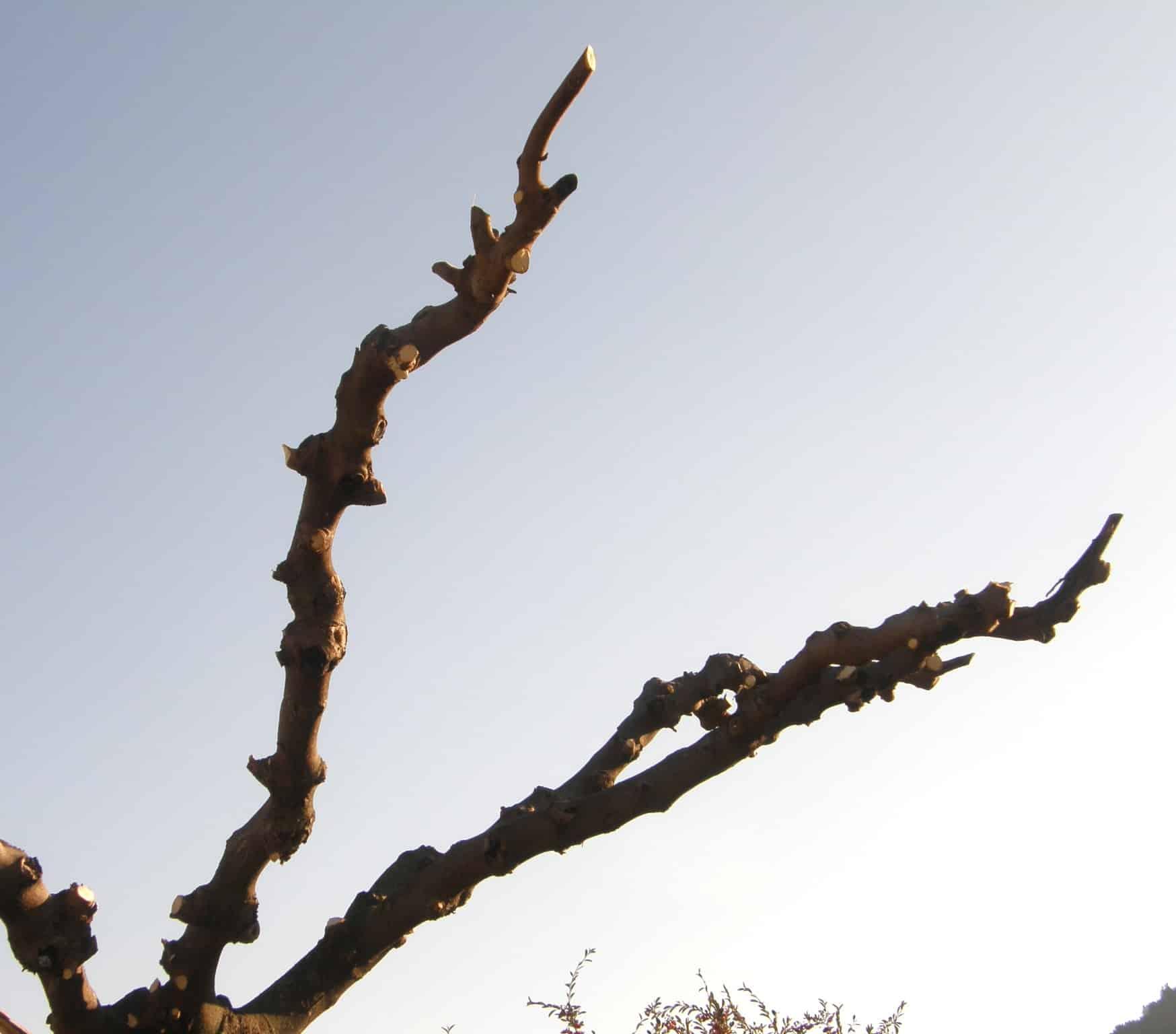Taille du mûrier platane, exemples à ne pas reproduire