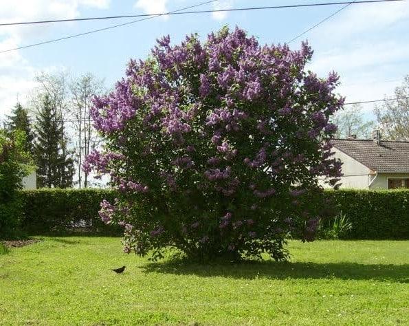 Lilas, Syringa vulgaris