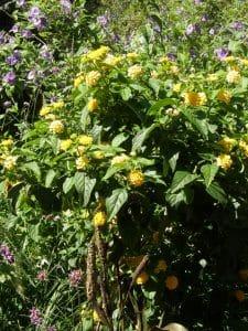 buddleia globosa