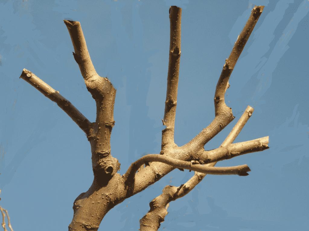 taille du m 251 rier platane conseil humeur de jardinier