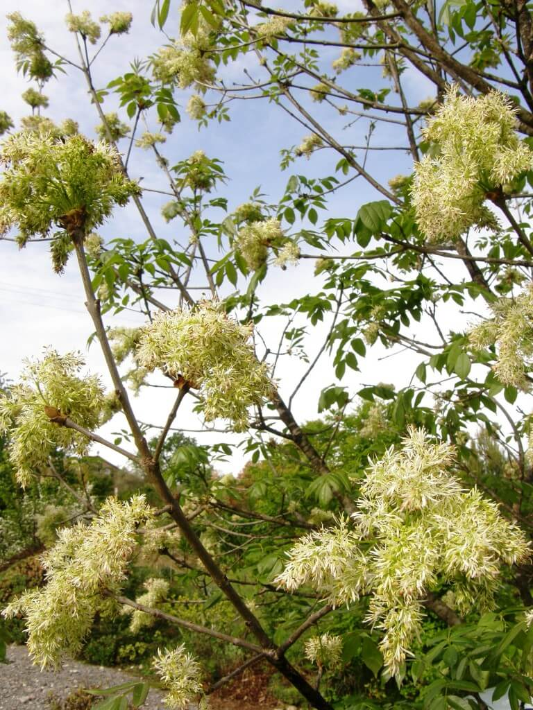 frêne à fleurs