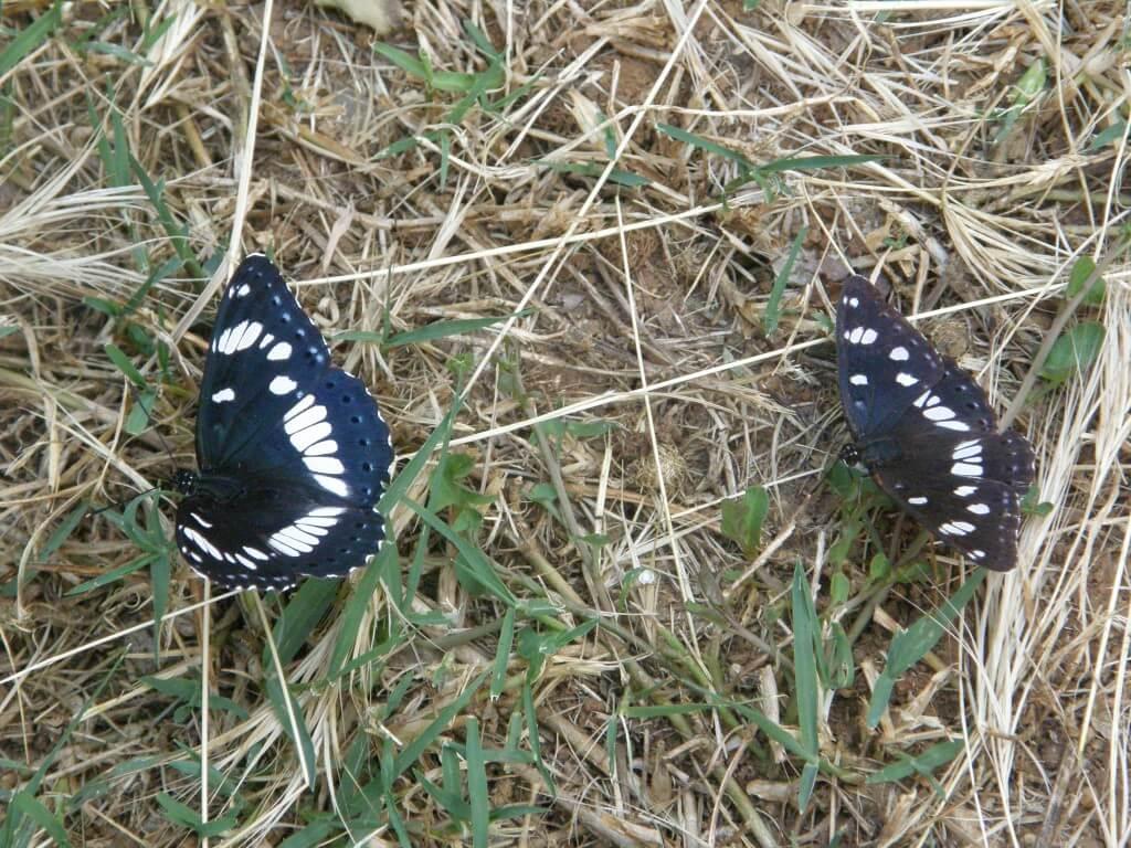 papillons Sylvain azuré