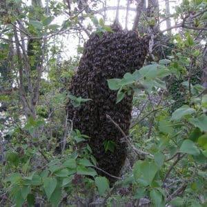 abeille en regroupement