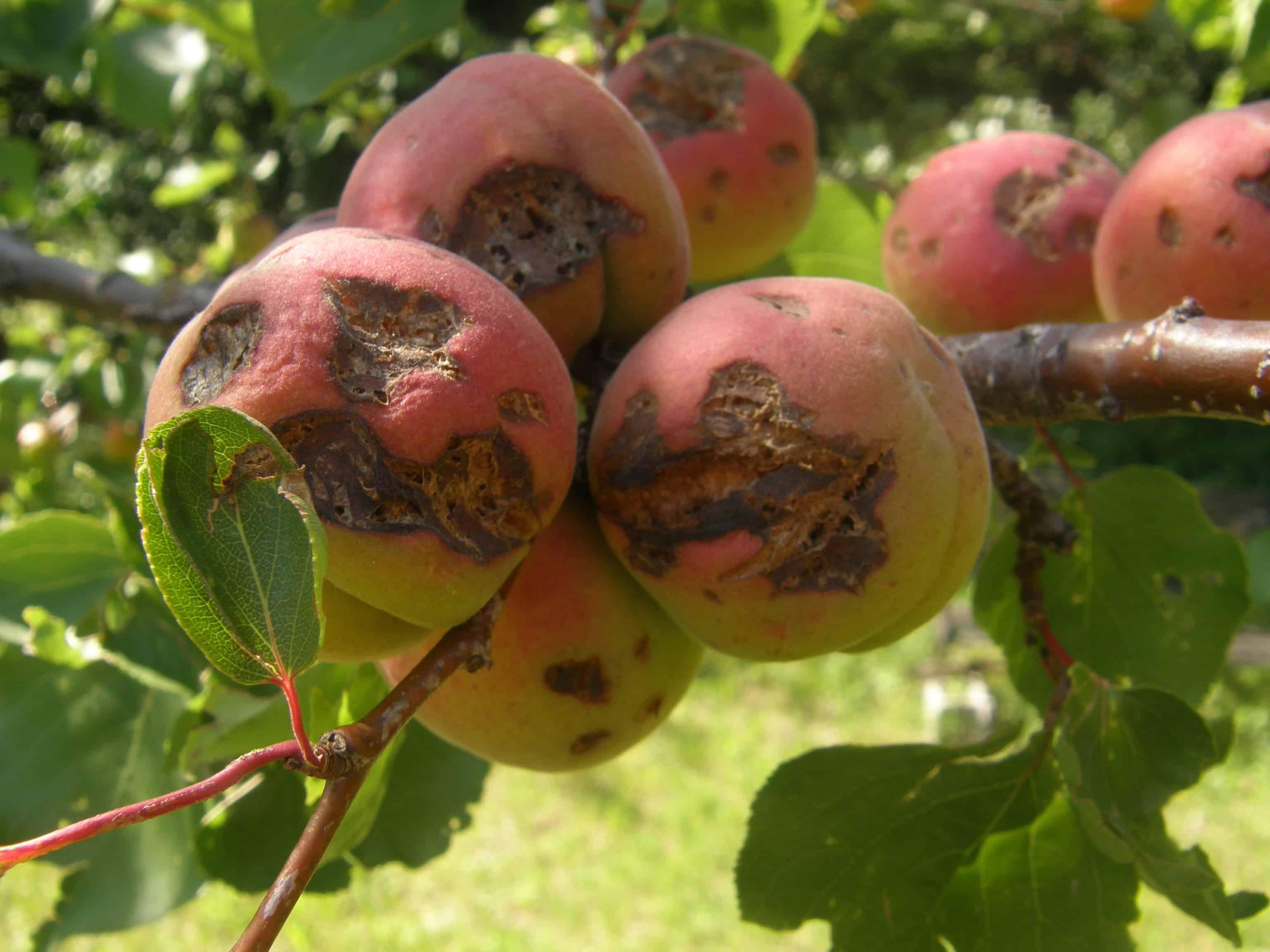 Tavelure sur pommes