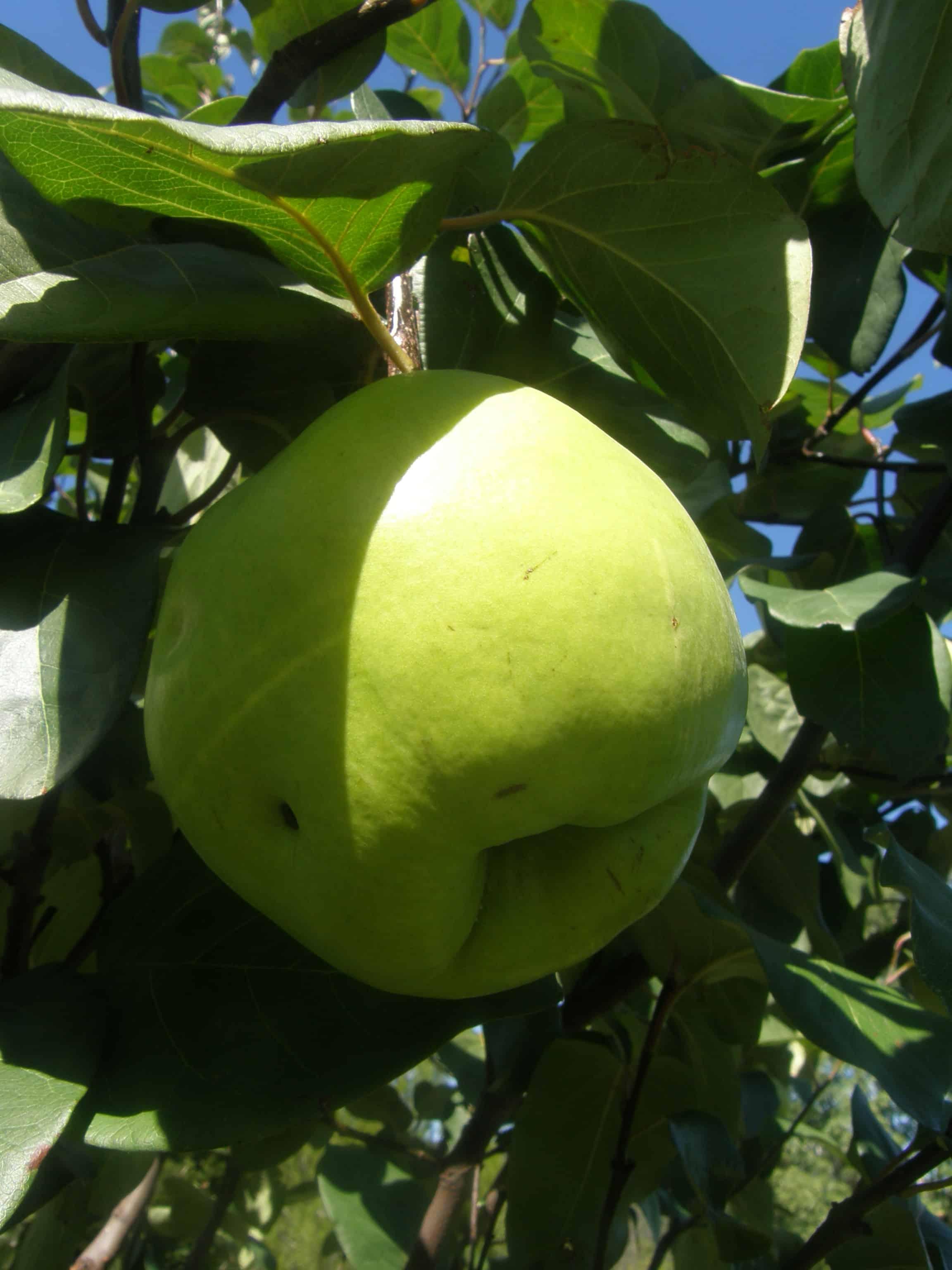 La pollinisation chez les fruitiers