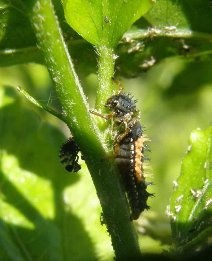 Peut on se passer de pesticides au jardin 1 humeur de jardinier - Larve de coccinelle ...