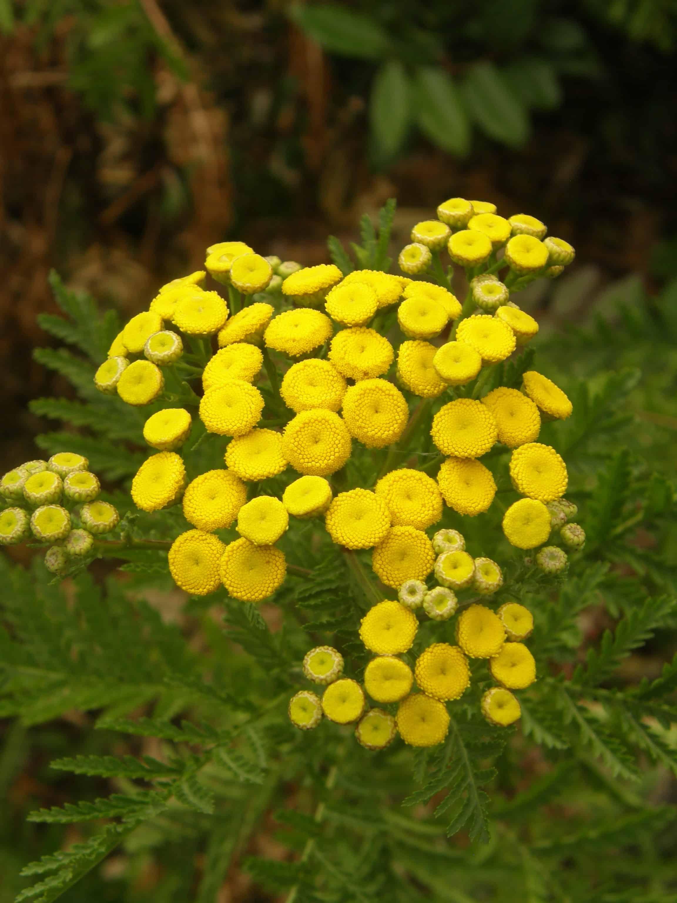 tanaisie, Tanacetum vulgaris