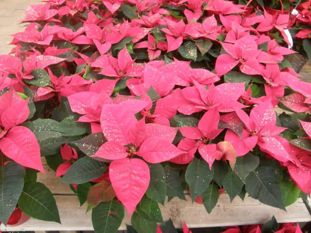 Poinsettia ou Euphorbe pulcherima
