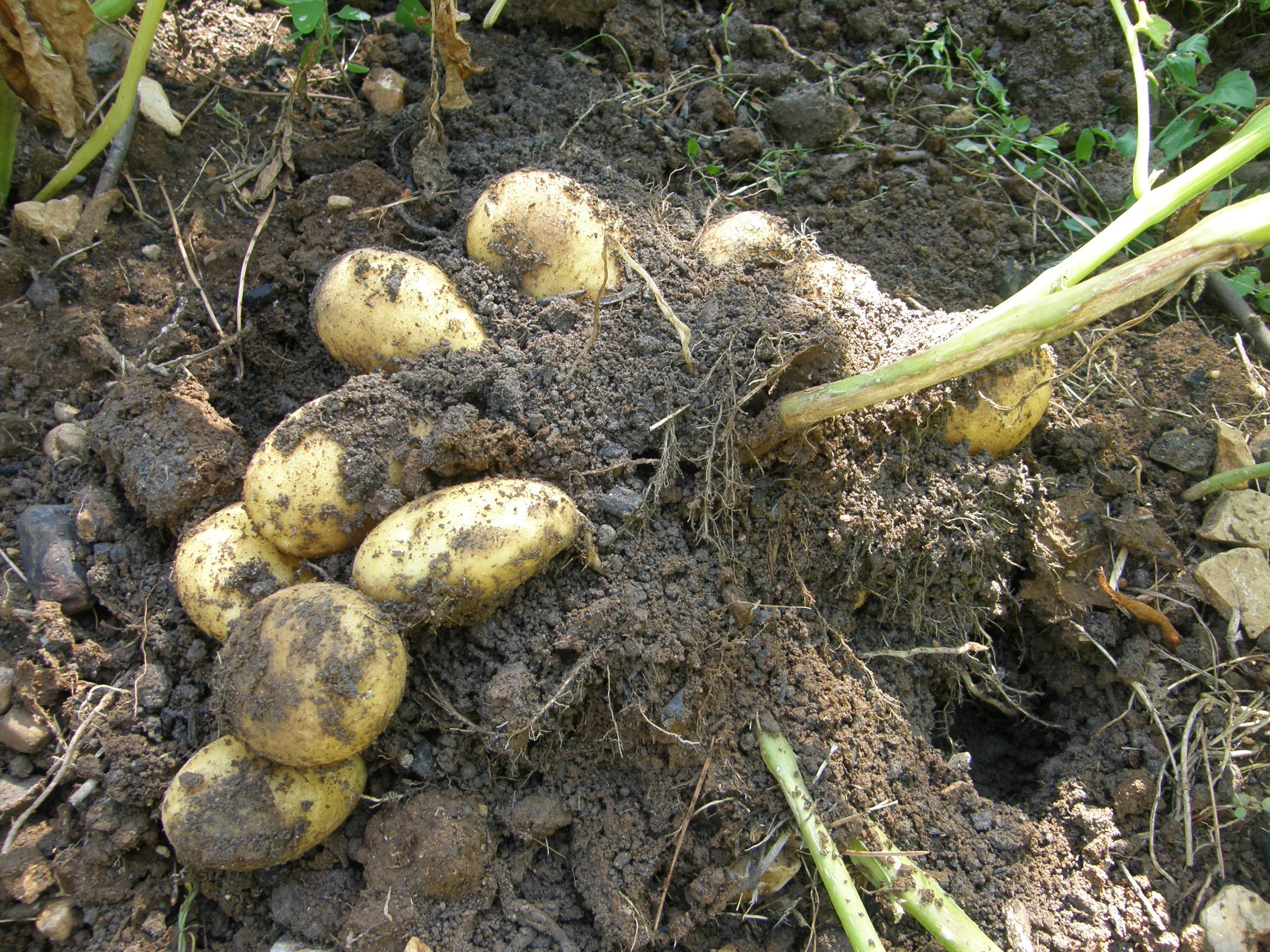 Choisir sa pomme de terre humeur de jardinier - Arrosage pomme de terre ...