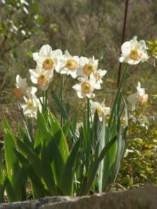 narcisse déjà en fleur