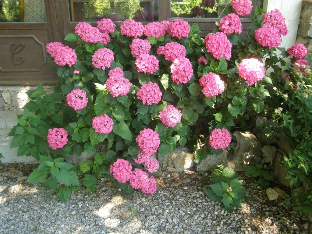 hortensia des jardins